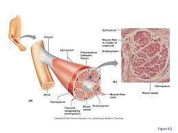 Anatomy And Physiology Chapter 9 Quiz 36 Best Anatomy Images On Pinterest Anatomy Medicine And Biology