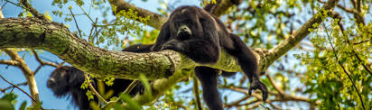 species profile black howler monkey alouatta pigra rainforest