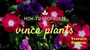 Vinca Flower Information - how to grow sadabahar vinca or periwinkle plants hindi urdu how