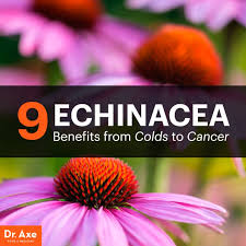 echinacea flower 9 echinacea benefits from colds to cancer dr axe