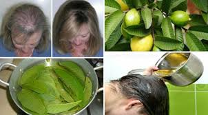 What Vitamin Is Good For Hair Loss Guava Leaves Can Extremely 100 Stop Your Hair Loss And Make It