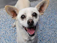 boxer dog adoption los angeles nkla dog adopt dogs rescue losangeles gayweho dogs4u