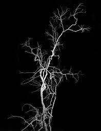 a confrontation of resemblances onorato krebs lightning tree