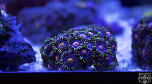 led lighting for zoanthids beginner corals zoanthids reefed