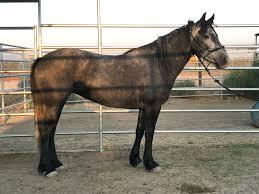 mustang adoptions adopt a blm mustang or burro familyhorses