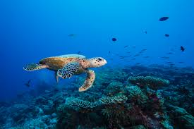 six senses laamu celebrates world turtle day visit maldives