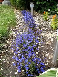 native border plants growing lobelia tips for care of lobelia