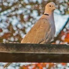 Florida Backyard Birds - pacific northwest photography backyard birds eurasian collared dove