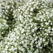 sams club wedding flowers best 25 baby s breath bulk ideas on cheap wedding