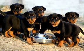 importance of a healthy rottweiler diet rottweilerhq com