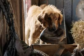 afghan hound mandarin a dog u0027s purpose at an amc theatre near you