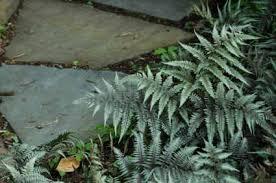 ornamental ferns for a rock garden