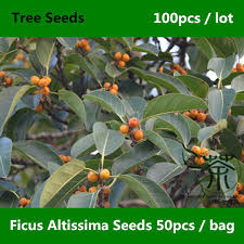family moraceae ficus altissima seeds 100pcs ornamental plants