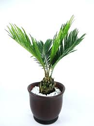 types of indoor plants houseplants date palm species of palm trees