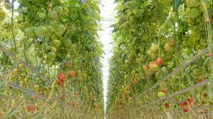 10yearsoftomatoes u2013 always tomato season