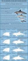 Dolphin Rugs Best 20 Common Bottlenose Dolphin Ideas On Pinterest Dolphins