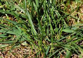 types of lawn grasses warm season cool season