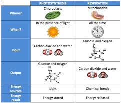Photosynthesis And Cellular Respiration Worksheet Biology