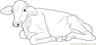 cow sitting coloring page free cow coloring pages