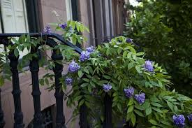 Climbing Plants That Flower All Year - plant of the week wisteria gardenista