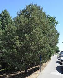 southern california coastal trees climate ready trees