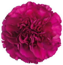purple carnations carnation flowers are a popular flower with a ruffled shaped