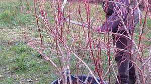 mirtillo in vaso potatura mirtillo gigante variet罌 duke a cura di renzo erini