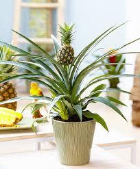 Buy House Plants Buy House Plants Now Pineapple Plant U0027corona U0027 Bakker Com
