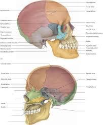 Human Anatomy Skull Bones Cranial Bones Physiology Americorps Health Blog
