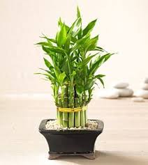 take care of lucky bamboo lucky bamboo plants and gardens