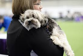 affenpinscher ottawa a lowchen waits to compete in the agility ring during the first
