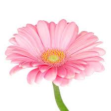 gerbera colors pink gerbera stock image image of colors bright 28749833