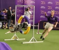 australian shepherd agility pet scoop australian shepherd wins agility competition kitten