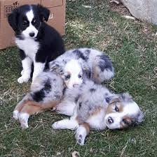 australian shepherd quebec emberview toy aussies