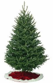 fraser fir trees kirk company