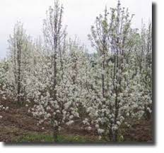 some important facts about the chanticleer pear tree pear