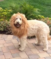 Lion Halloween Costumes Dogs U0027s Waldo Halloween Costume Goldendoodle Dogs
