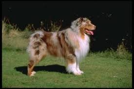 australian shepherd los angeles rescue australian shepherd dogs for adoption in usa
