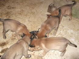 belgian shepherd kennels belgian shepherd puppies boys girls darlington county durham