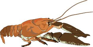 clipart ecrevisse a pattes blanches white clawed crayfish