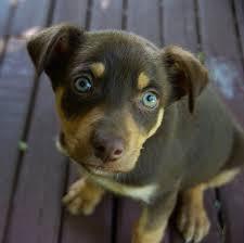 Bench Kelpie Puppies Sale Sales Information Home Page Noonbarra Kelpie Pups For Sale Puppies
