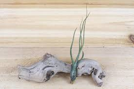 wholesale native plants wholesale wild ones tillandsia air plants