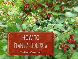 native hedging plants how to plant a hedgerow tenth acre farm