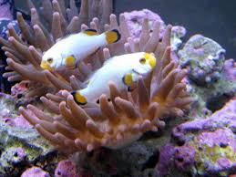 ornamental marine fish culture getting in the fin with