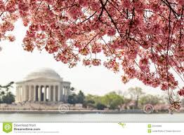 blossom trees jefferson memorial under cherry blossom trees stock photo image
