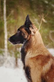 belgian sheepdog varieties the belgian malinois i want one of these guys incredible dogs