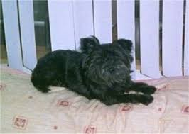 affenpinscher terrier mix affenpinscher dog breed pictures 1