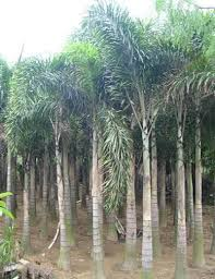 ornamental plants what is palm tree
