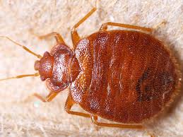 Can Bed Bugs Survive Outside Bed Bugs Rentokil