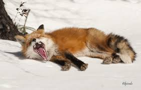 sleeping red fox wallpapers fox yawn by les piccolo on deviantart